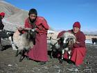 goat life saving gonpo1 P1010057